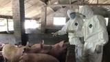 春节过后,外国出口商竟故意抬高猪肉价格、注瘦肉精,不可饶恕