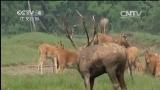 [中国新闻]江苏大丰:一年一度 麋鹿鹿王争霸