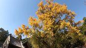 【骑行Vlog】深秋五峰山看千年古银杏