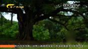 作家巴金曾经在书中描写的场景,在广西玉林第一岛一一呈现出来