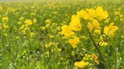 带着口罩来探花,兰陵县这个万亩油菜花海开花啦,周末可约