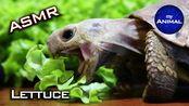 【my Animal】乌龟吃生菜动物可爱乌龟我的动物49(2019年10月17日6时29分)
