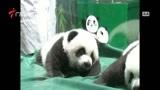 [广东新闻联播]全球唯一存活大熊猫三胞胎首次与游客见面