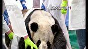 """[新闻直播间]德国 旅德大熊猫""""娇庆""""接受CT检查"""