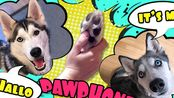 【Ms. Laika The Husky】赫斯基狗叫他们的朋友