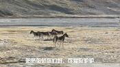 小踏板骑行西藏,穿越可可西里几次看见野驴,这运气是不是爆棚了