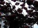 鹏琴pq-江西师大青山湖校区之樱花树-(2011.4.7)-3