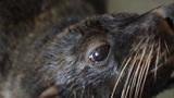 五岁的雌性海狮在全身麻醉的情况下接受胃镜检查