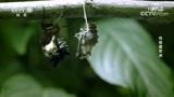 蝶泳破茧后的翅膀极为脆弱,必须倒挂在树枝上一段时间翅膀才能完全成型