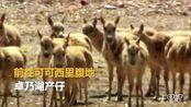 【青海】可可西里迎来2018年首批迁徙藏羚羊
