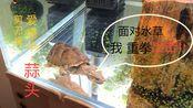"""【麝香龟】蒜头-'剪刀嘴' 爱德华·蒜头:""""面对水草 我重拳出击"""""""