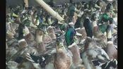 因受疫情影响,自家养殖场现有健康青头鸭(水鸭)出售,特卖价25元一只,每只重3斤左右 ,价格美丽,欲购从速!联系电话:18188971356刘女士。
