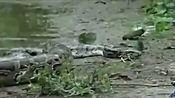 实拍超级巨蟒绞杀活吞鳄鱼mp4
