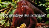 [科普人文]+'Do Monkeys Eat Bananas?'+个人原创+英文有字无翻译