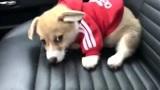 把家里的狗狗放在副驾驶带回老家过年,还给小家伙穿了身新衣服!