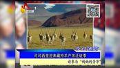 可可西里迎来 藏羚羊产羔迁徙季
