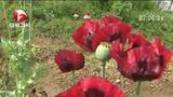 [超级新闻场]安徽芜湖:藏身菜园地 千余株罂粟被铲除