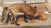 【取个狐狸精当老婆】无情的开椰子机器