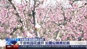 山东枣庄:千亩桃园花盛开  如霞似锦美如画
