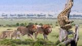 5只狮子饿急眼了猎杀长颈鹿,草原霸主太厉害,长颈鹿:我太难了