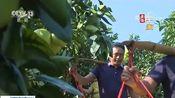 [新闻直播间]福建漳州 蜜柚飘香果满山 又是一年丰收时