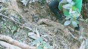 农村母女去山上挖草药,草药没挖到挖到葛根,到家嘴吧咬了就吃。