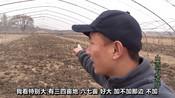 山西长子县是青椒县,大叔六万建七亩蔬菜棚,撒了鸡粪还要撒化肥