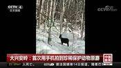 [中国新闻]大兴安岭:首次用手机拍到珍稀保护动物原麝