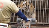 饲养员是怎么给老虎抽血的?原来要演这么多戏,涨知识了