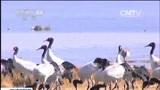 [朝闻天下]云南昭通:近千只黑颈鹤抵达大山包越冬