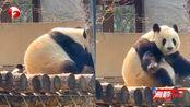 """乌鸦薅熊猫毛给自己絮窝,网友向森警""""举报"""":这不犯法吗?"""