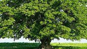 Under der linden[在菩提树下][中世纪德国歌曲][+英语歌词]