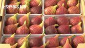 日本神户无花果盆栽种植四季可以采摘,无花果酱美食制作探访