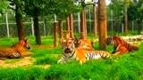 森林之王也会打瞌睡,一群老虎外面沐浴阳光,个个都困的在那里打哈欠!