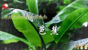 【诗书画】2019.12.15嘉树美木之芭蕉 江南小院的别样风情 雨和芭蕉