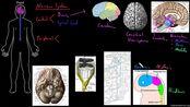 自用 | endocrine and nervous system (搭配AP Barron Bio Chap.14)