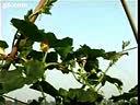 种植冬瓜栽培技术1国语-A67手机电影  www.a67yy.com 转载