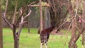 羚羊和斑马杂交会生出来什么?看完涨见识!