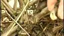 第一碟-金银花丰产栽培技术-科技术教育28_0