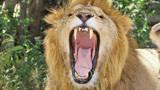 狮子也有天敌,凶残的狮子们清楚,遇到须赶紧逃离!