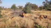 一场混战!狮子被狮群恶狠狠地包围,雄狮就像一个透明人?怂包?