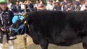 日本1头牛拍出2600万 该牛重达678公斤