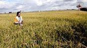 2014年9月19日黑龙江建三江大兴农场水稻直播(穴播)宽窄行种植模式现场纪实—在线播放—优酷网,视频高清在线观看
