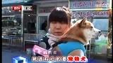 采访:纯种日本柴犬幼犬出售卖 北京黄金犬舍 通州梨园狗市2区53号