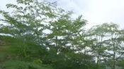 大风吹着我家门前的那一片辣木种植基地,辣木籽产地