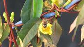 2020年2月26日07時03分 (中國時間東八區) 福州祭酒嶺花叢間飛舞的蜜蜂〔Canon PowerShot SX60 HS〕