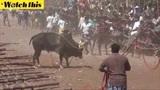 印度驯牛节斗牛致数十余人伤亡 公牛横冲直撞冲出人群