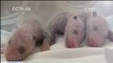 [视频]广州:全球唯一存活大熊猫三胞胎亮相