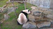 还没到回屋时间,大熊猫就迫不及待想下班