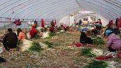 河南南阳:农民4万吨大葱丰收了,农民伯伯寻求大客商帮忙